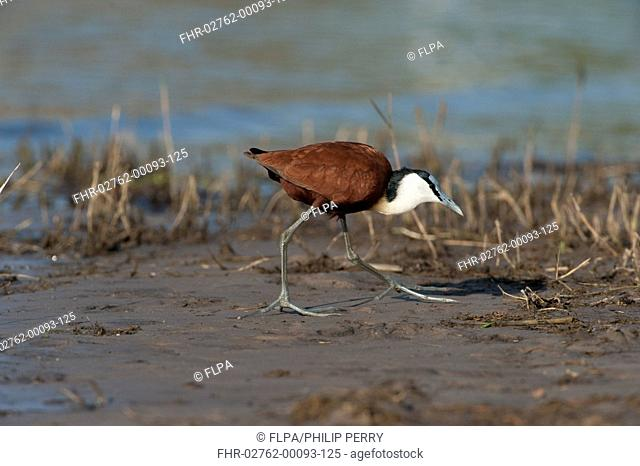 African Jacana (Actophilornis africanus) adult, walking on mud, Chobe River, Chobe N.P., Botswana, June