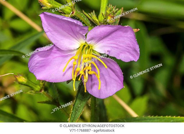 Virginia Meadow Beauty Rhexia virginica at North Carolina Outer Banks, USA