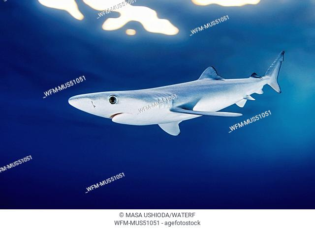 Blue Shark, Prionace glauca, San Diego, California, USA