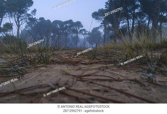 Stone pine forest (Pinus pinea) and fog. Almansa. Albacete province. Spain