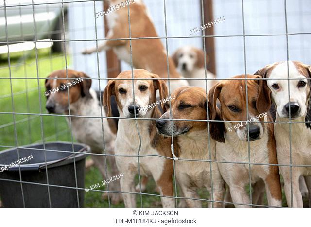 Fox hounds in a cage