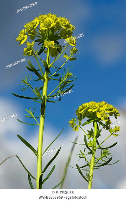 cypress spurge (Euphorbia cyparissias), blooming, Germany