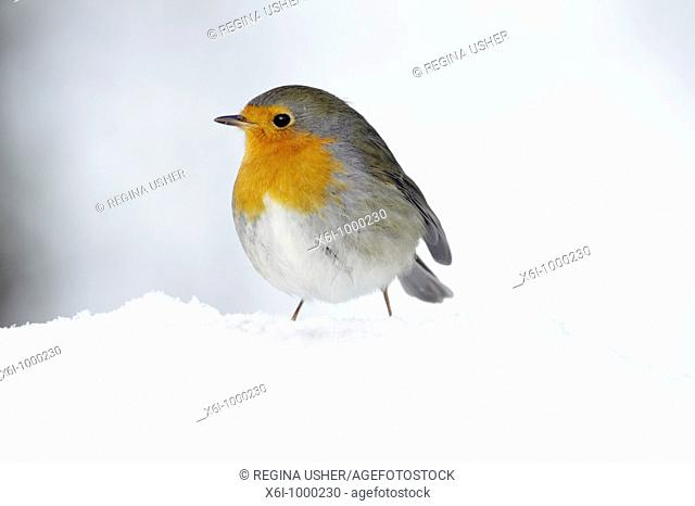 Robin Erithacus rubecula, in winter, Germany