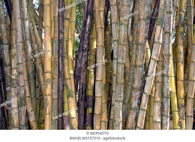 tropical bamboo, Costa Rica, Nationalpark Manuel Antonio