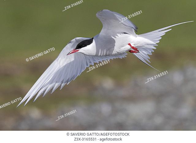 Arctic Tern (Sterna paradisaea), adult in flight
