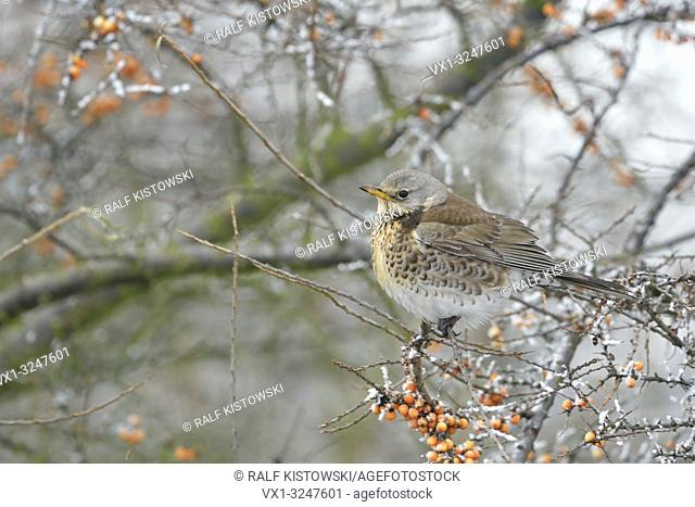 Freezing Fieldfare / Wacholderdrossel (Turdus pilaris) sits in a hedge of seabuckthorn.