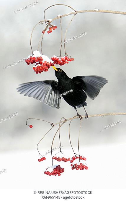 Blackbird Turdus merula, feeding on Guelder Rose berries in winter, Germany