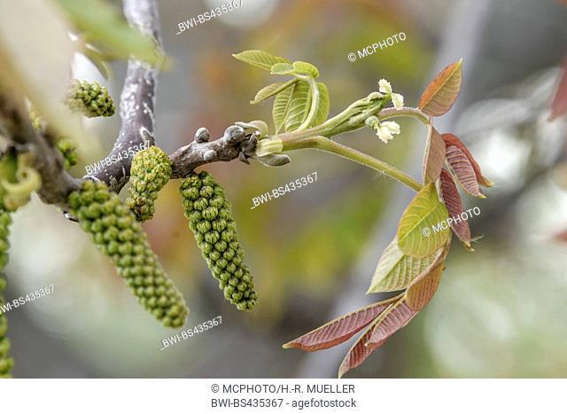 walnut (Juglans regia), blooming branch, Germany