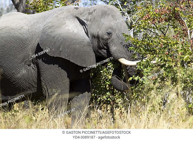 African Elephant (Loxodonta africana), in the Third Bridge Camp, Okavango Delta, Moremi Game Reserve, Botswana