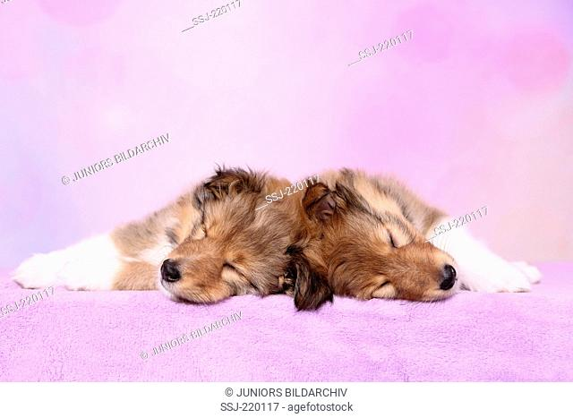 Shetland Sheepdog. Two puppies (6 weeks old) sleeping on a pink blanket. Studio picture against a pink background