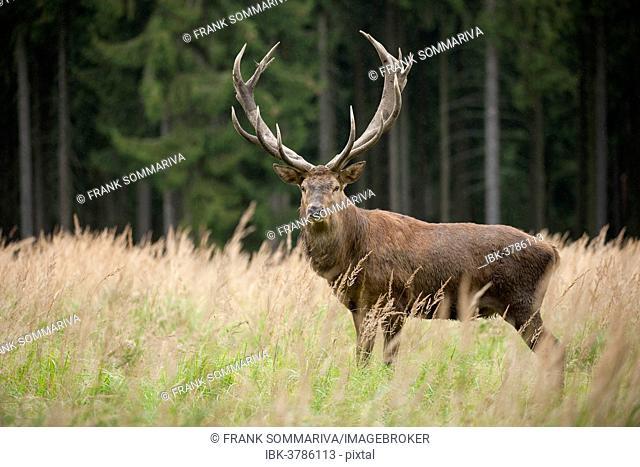 Red Deer (Cervus elaphus), stag, captive, Saxony, Germany