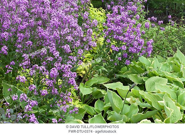 Honesty, Lunaria annua 'Dark flowered' & Hosta 'Sum of All' with Rubus idaeus aureus growing outdoor.-
