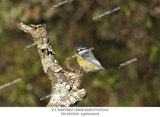 blue tit (Cyanistes caeruleus). Photographed in the Regional Park of the Guadarrama River Madrid