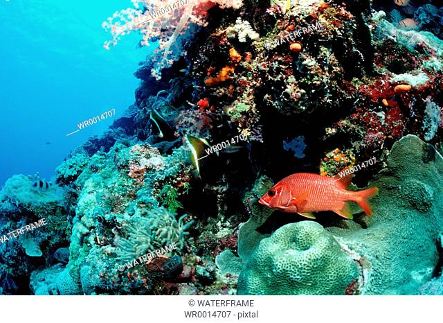 Longjawed Squirrelfish in Coral Reef, Sargocentron spiniferum, Pacific, Micronesia, Palau