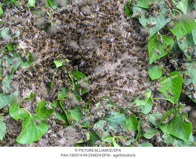 10 May 2018, Germany, Sieversdorf: Numerous bees are on a trunk of an old walnut tree covered with ivy in a garden. For years