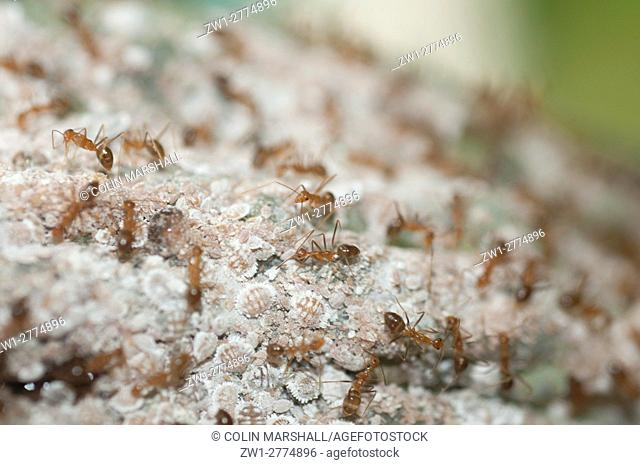 Fire Ants (Oecophylla sp. ) guarding white Mealybugs (Hemiptera order, Pseudococcidae family) on Cocoa pod (Theobroma cacao); Mealybugs feed on the pod and...