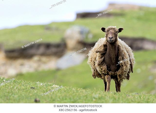 Foula Sheep on the Island of Foula, Shetland Islands. Foula Sheep are an extremely hardy, colorful and traditional breed of sheep, which survived only on Foula