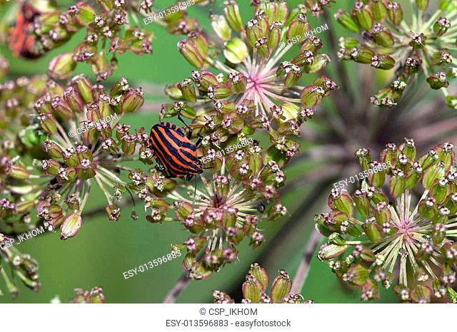 Striped Bug (Graphosoma rubrolineatum)
