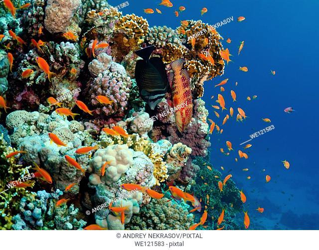 Sea goldie, Jevel fairy basslet Pseudanthias squamipinnis, swarm, Red Sea, Egypt, Africa