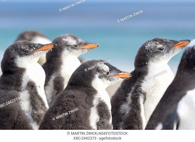 Gentoo Penguin (Pygoscelis papua) on the Falkland Islands, half grown chicks. South America, Falkland Islands, January