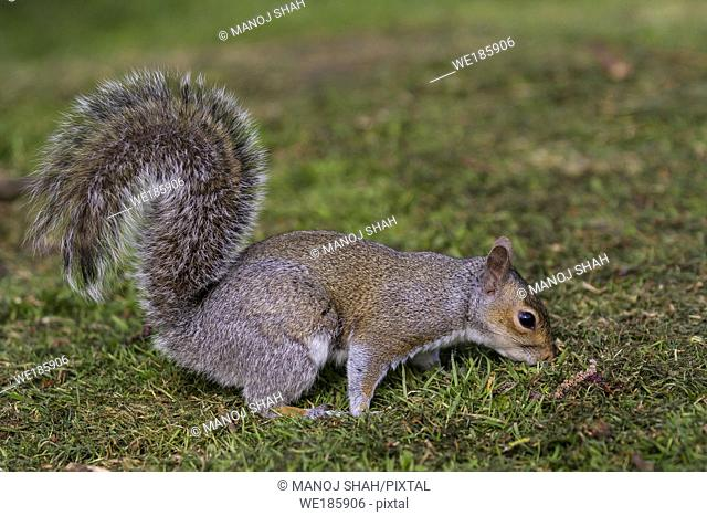 Grey Squirrel at the bottom of a tree, smelling. London, England