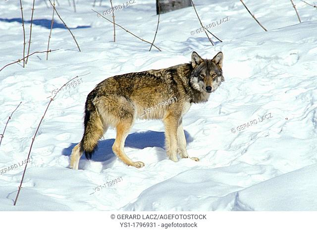 European Wolf, canis lupus, Adult standing on Snow