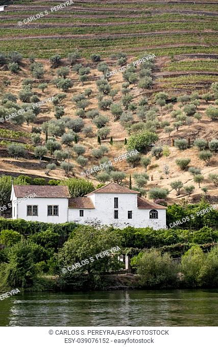 Olives and vineyards in Douro River Porto Portugal