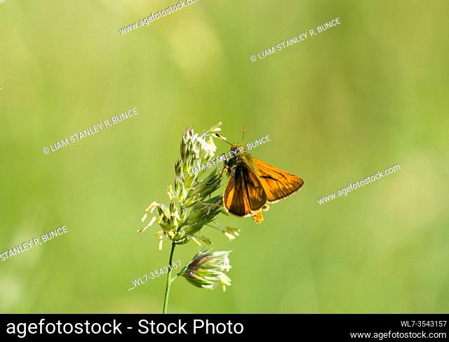 Large Skipper (Ochlodes sylvanus) male identifiable by It's prominent black markings on the forewings, Herefordshire UK. June 2020