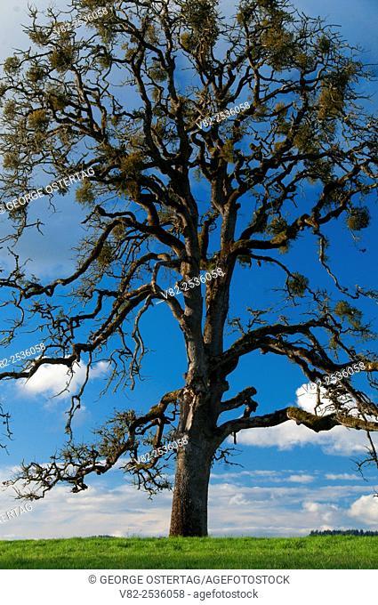 Oak, Ankeny National Wildlife Refuge, Oregon