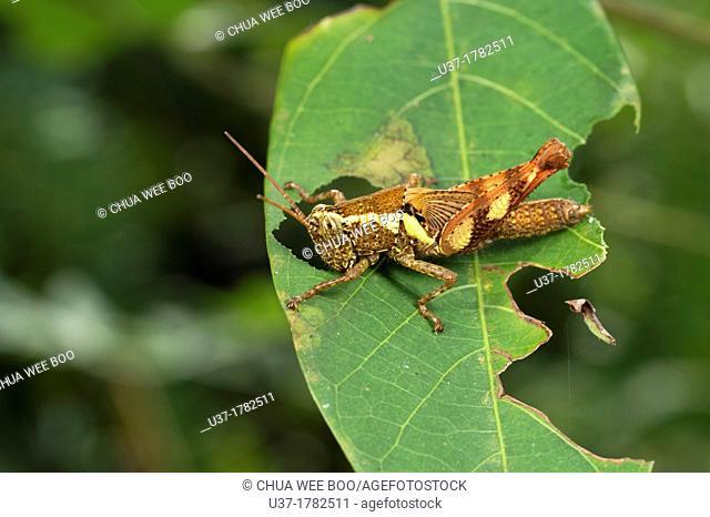 Grasshopper. Image taken at Kampung Satau, Singai, Sarawak, Malaysia