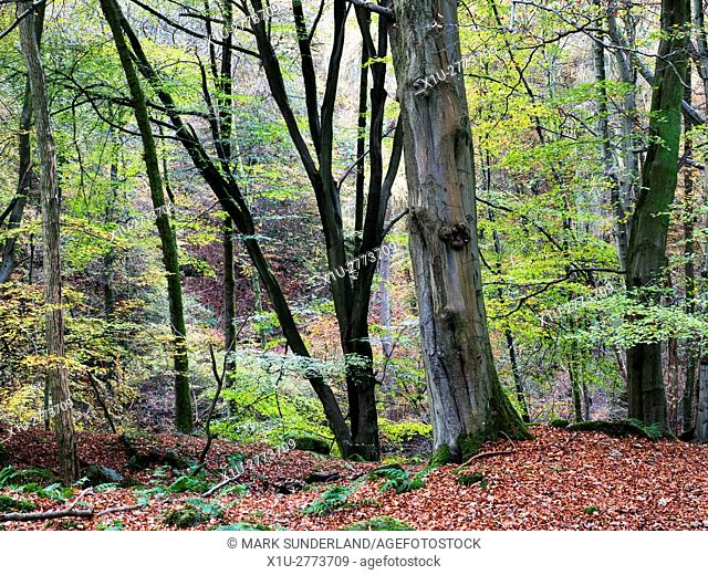 Autumn Trees in Skrikes Wood near Pateley Bridge North Yorkshire England