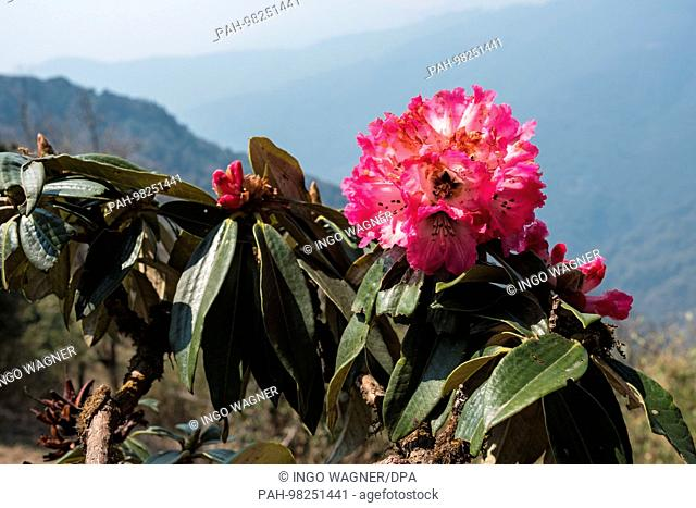 """Trekking tour in the Annapurna Conservation Area on 12.04.2017 through """"""""Oak and Rhododendron Forrest"""""""" from Ghorepani / Nepal to Ghandruk"""