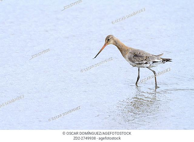 Black-tailed Godwit (Limosa limosa) feeding in shallow water. Titchwell RSPB Reserve. Norfolk. UK