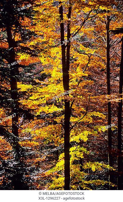 Irati forest, Navarra  Spain