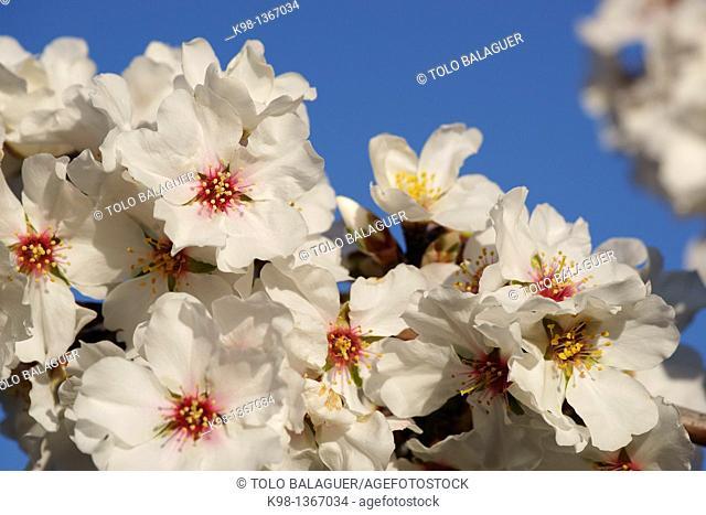 Almond blossom, Cami de S'Aguila llucmajor, Mallorca Balearic Islands, Spain