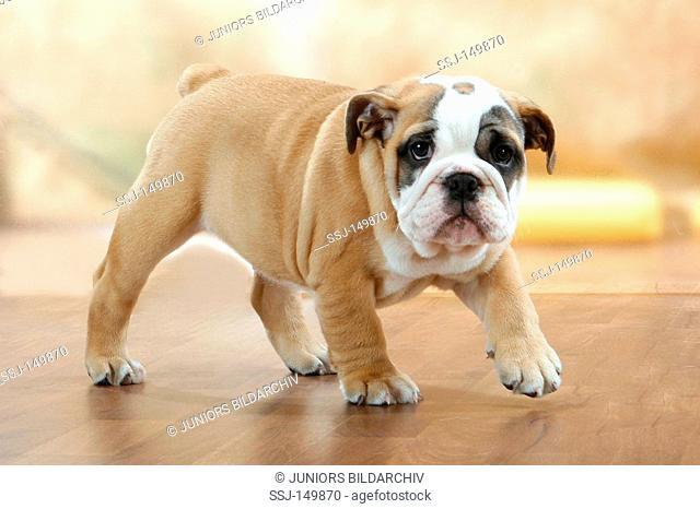 English Bulldog dog - puppy - walking restrictions: Tierratgebebücher, Kalender / animal guidebooks, calendars