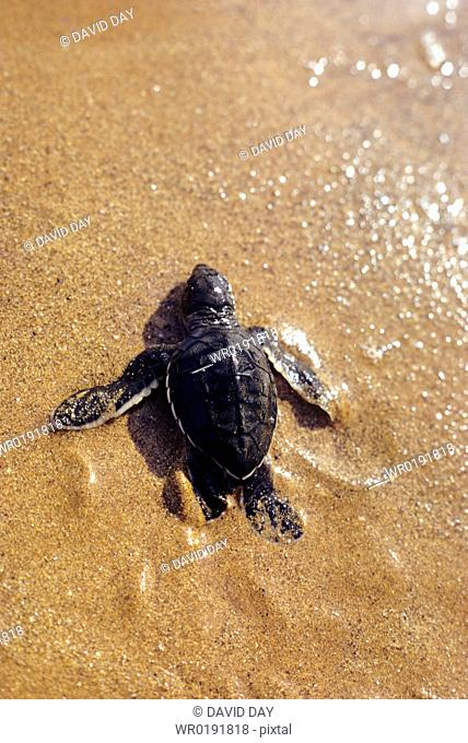 Green turtle hatchling walking down the beach Chelonia mydas Playa Espumilla, Santiago Island, Galapagos, Ecuador