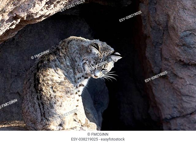 Bobcat sits in a relaxed, feline position in the natural setting of Cat Canyon at the Arizona Sonora Desert Museum, a key attraction in Tucson, Arizona, brown