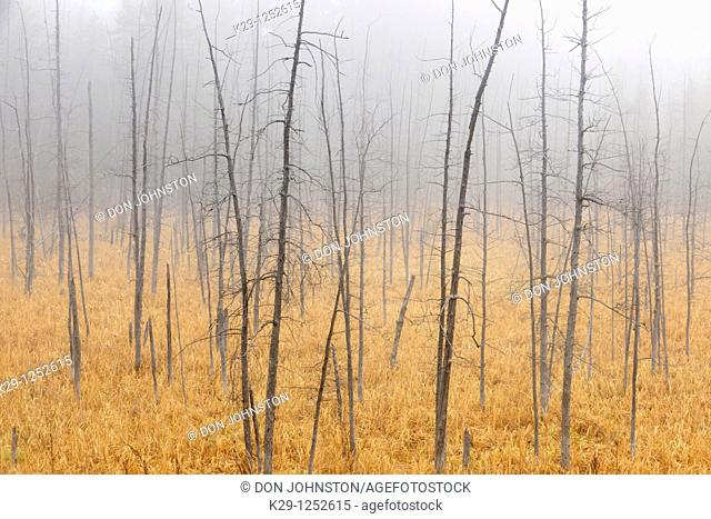 Snags in marsh in light fog. Ontario. Canada