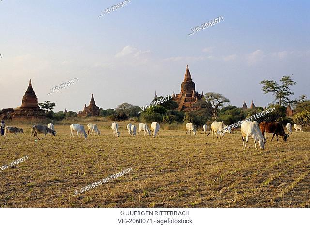ASIA, MYANMAR, BURMA, BIRMA, BAGAN, PAGAN, COWS and Pagodas - BAGAN, PAGAN, MYANMAR, 12/04/2009