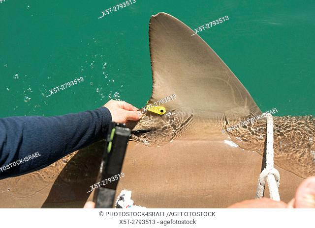 Researchers are tagging a sandbar shark (Carcharhinus plumbeus) in the Mediterranean sea. In recent years this shark has become more common in the Mediterranean...