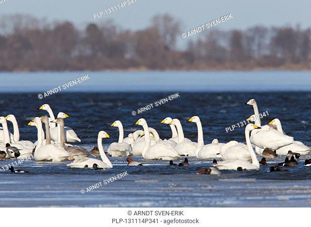 Whooper Swans (Cygnus cygnus) flock swimming among ducks in lake in winter