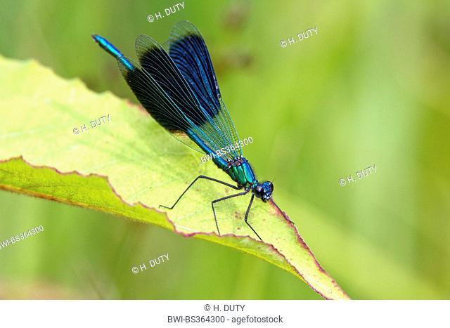 banded blackwings, banded agrion, banded demoiselle (Calopteryx splendens, Agrion splendens), male on outlook, Germany