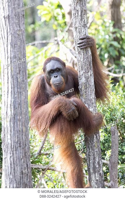 Asia, Indonesia, Borneo, Tanjung Puting National Park, Bornean orangutan (Pongo pygmaeus pygmaeus), Adult male alone