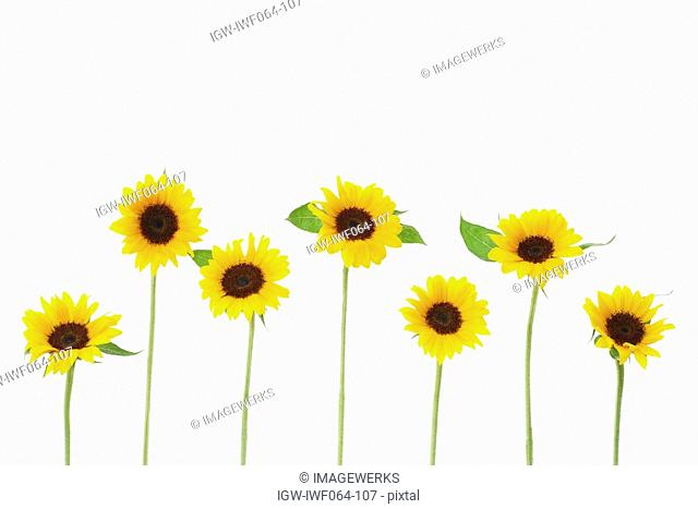 Row of sunflowers on white background, close-up