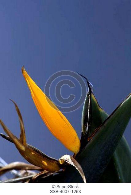 USA, Florida, Jacksonville, Jacksonville Beach, Bird of Paradise Strelitzia reginae