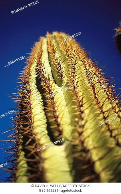 Saguaro cactus. Tucson. Arizona. USA