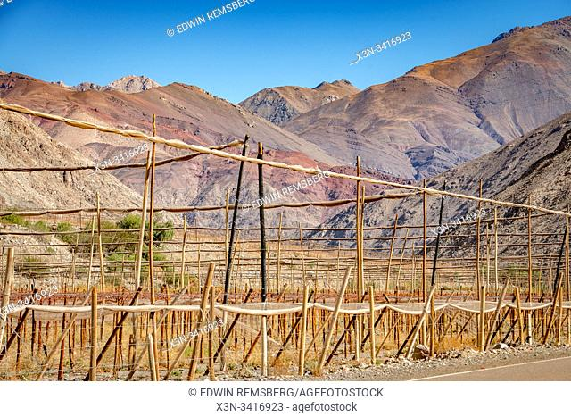 Grape vines growing in fields for Pisco, Elqui Pisco Valley, Coquimbo, Chile