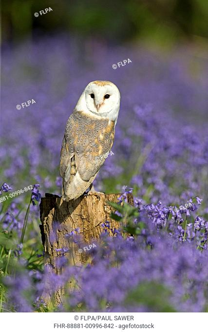 Barn Owl (Tyto alba) adult, perched on stump among Bluebell (Hyacinthoides non-scripta) flowers, Suffolk, England, May (controlled subject)