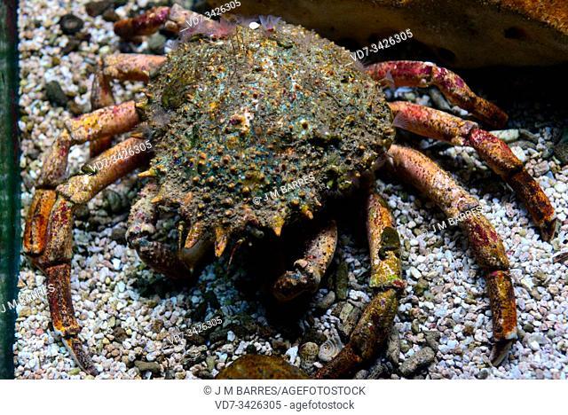 Spiny spider crab (Maja squinado) is an edible crab native to eastern Atlantic Ocean and Mediterranean Sea
